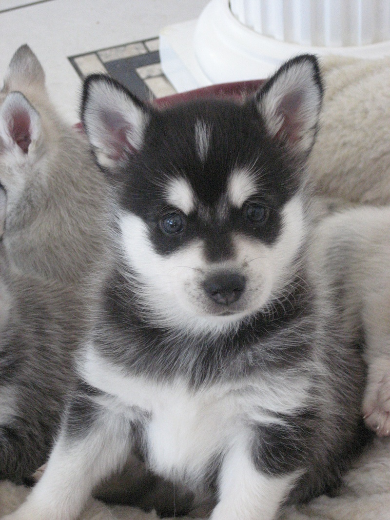 A mutt is defined as a dog that. It's essential for Alaskan Klee Kai ...